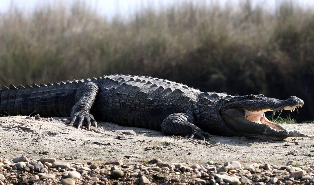 Crocodile in Nepal
