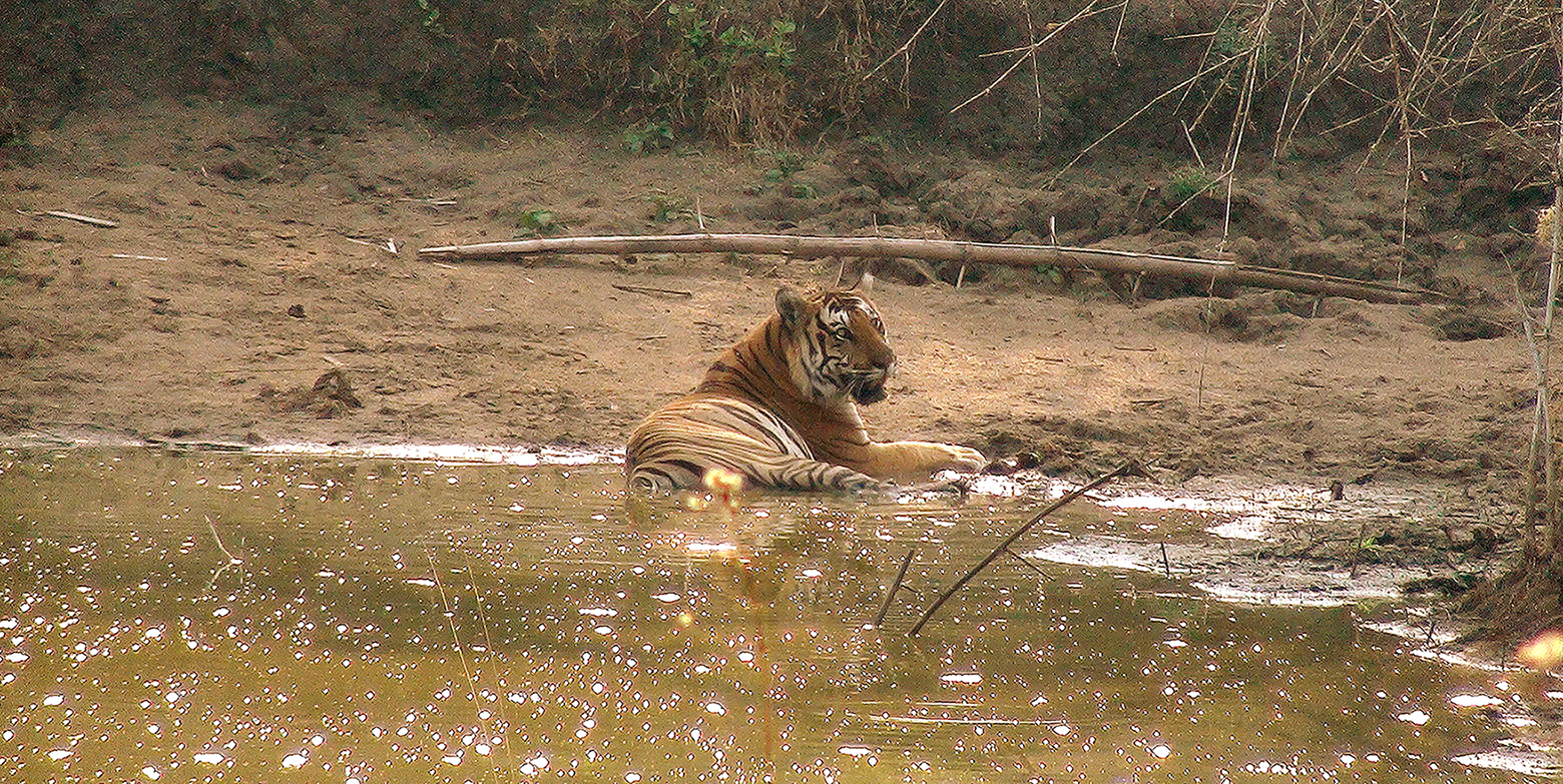 Tiger Encounter in Chitwan National Park