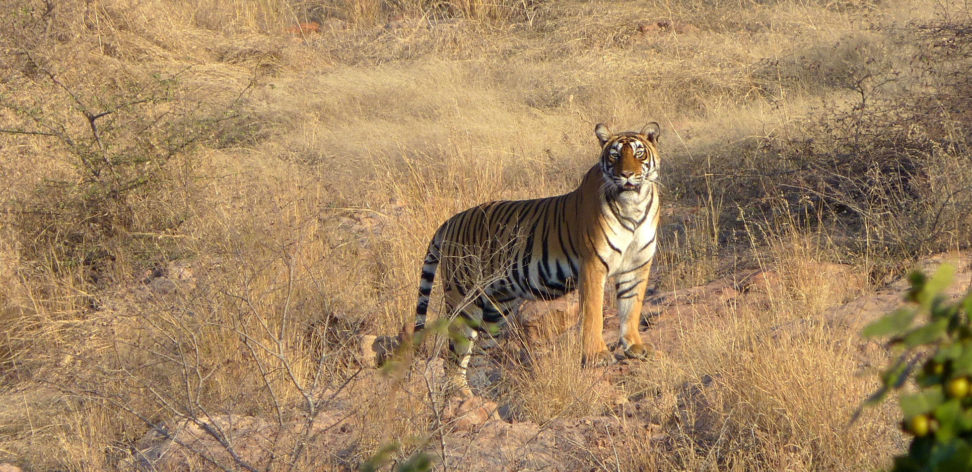 Tiger Encounter in Bardia National Park