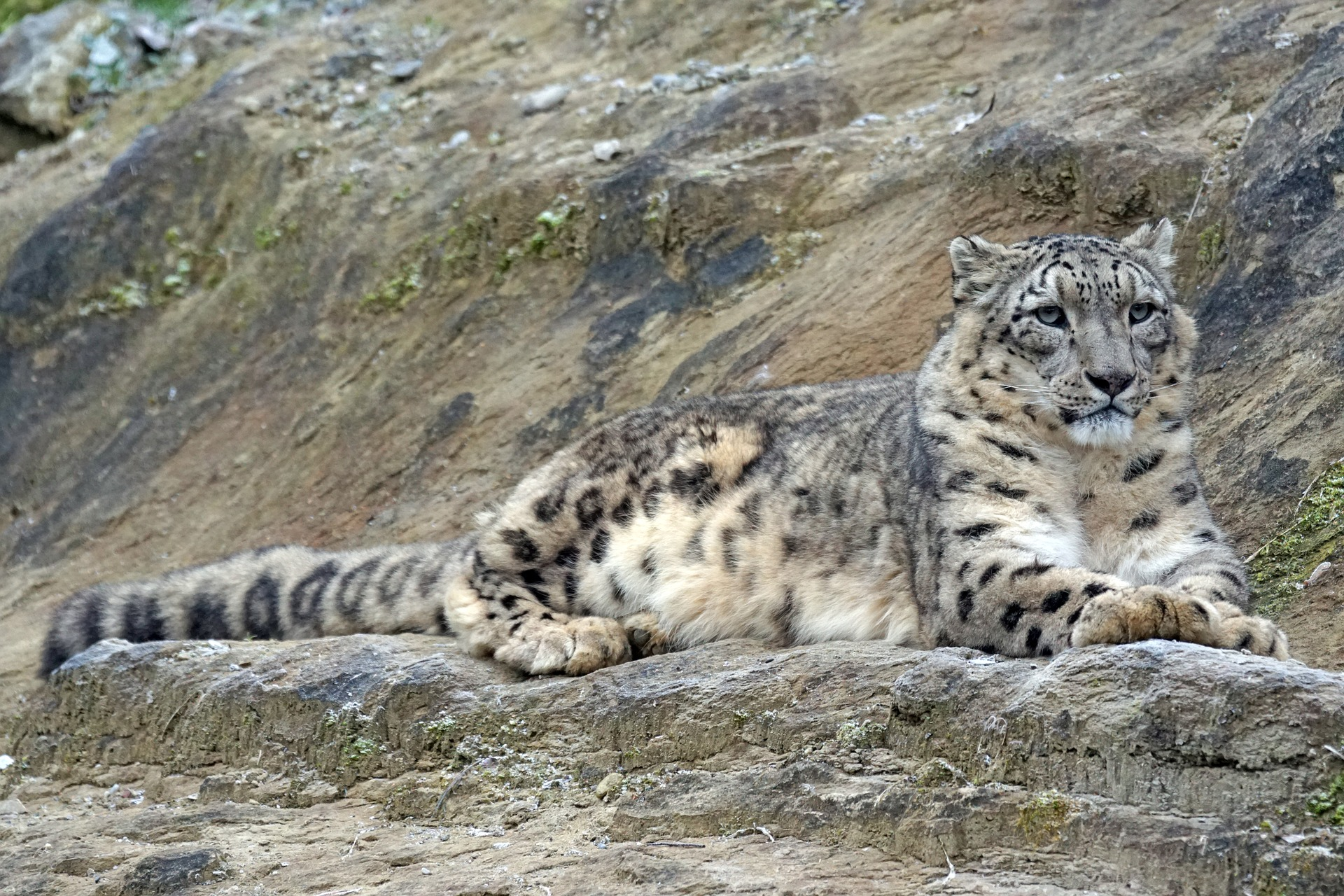 Snow Leopard Encounter in Nepal