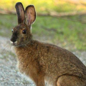 Hispid Hare