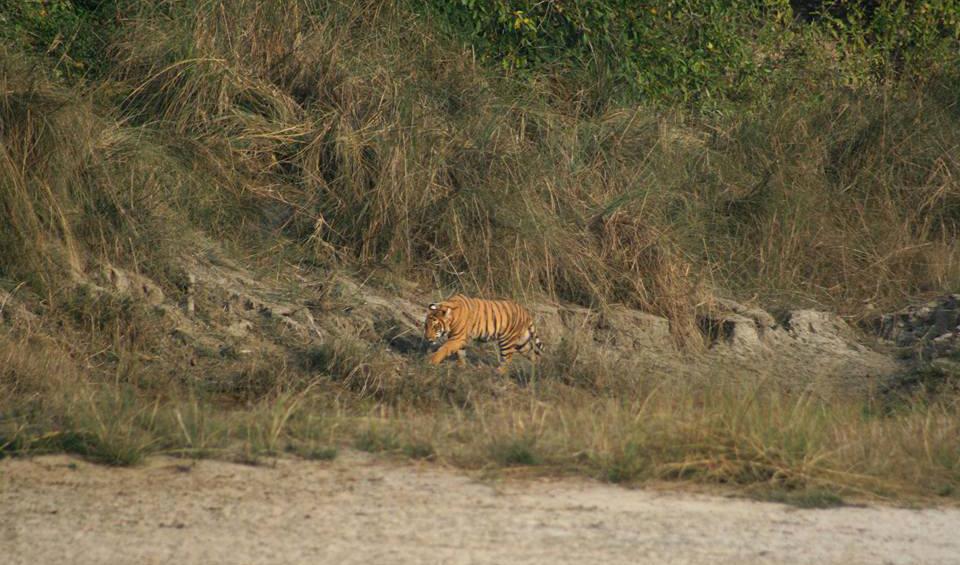 Experience royal bengal tiger