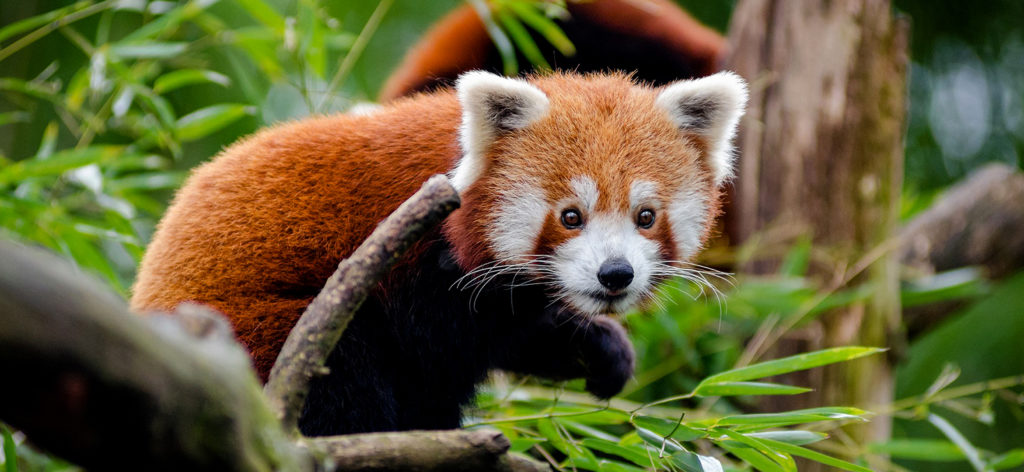 Red Panda Tour in Nepal