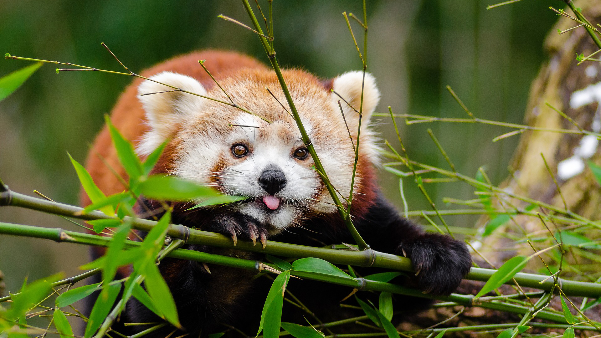 Red Panda | Basic Facts About Red Panda