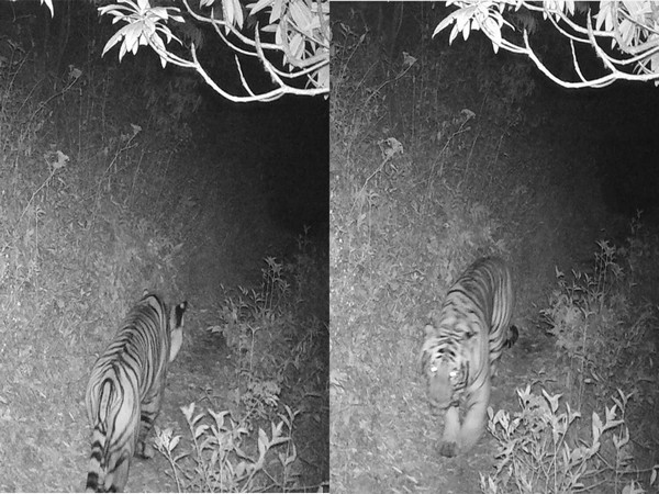 Royal Bengal Tiger Spotted at 3165m Altitude