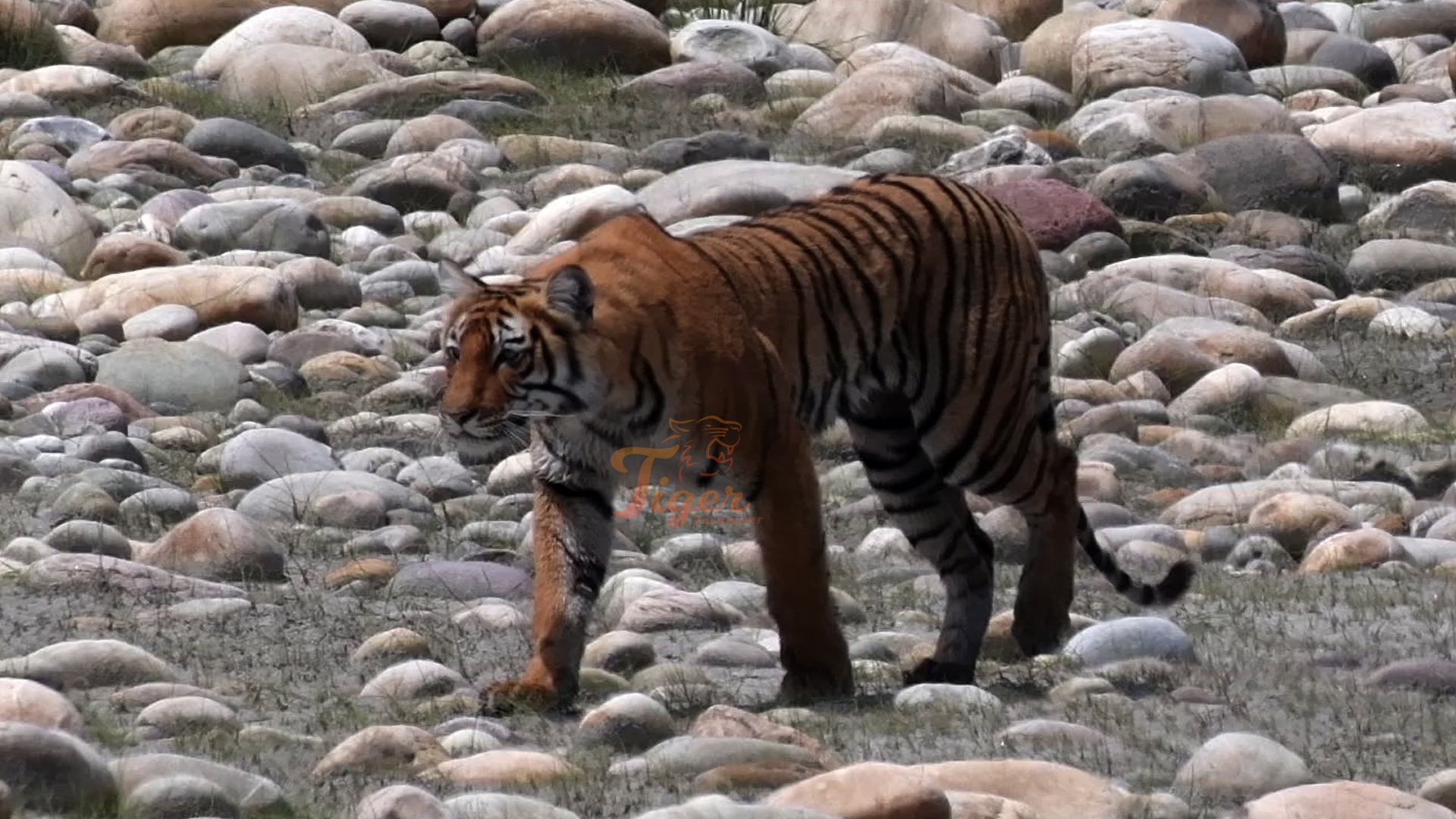 Royal Bengal Tiger Spotted at 3165m Altitude in Nepal<