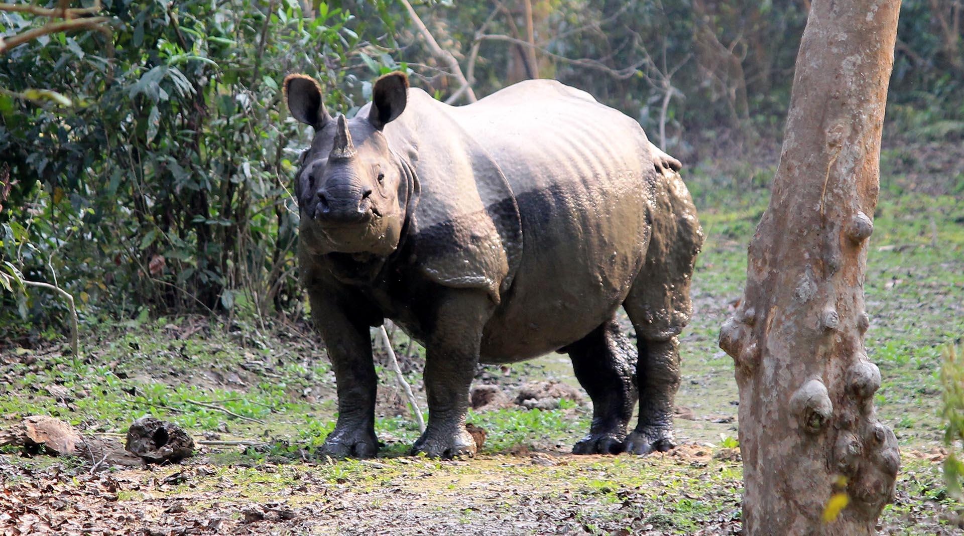 Nepal One-Horned Rhinos Increase of 107 in 6 Years<